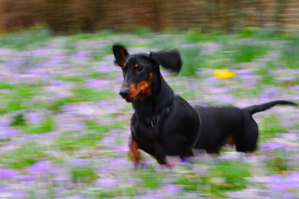 energetic dog running through a field